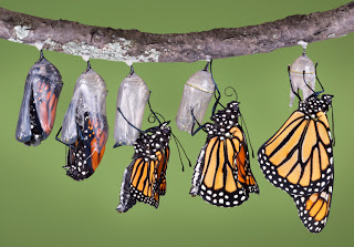 A composit of various views of a monarch emerging from its chrysalis.